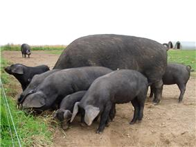 Several dark-coloured swine