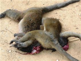 Three dead bamboo lemurs lying in a pile on the ground, with entrails spilling from one of them