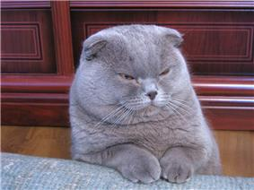 Lilac-coated Scottish Fold