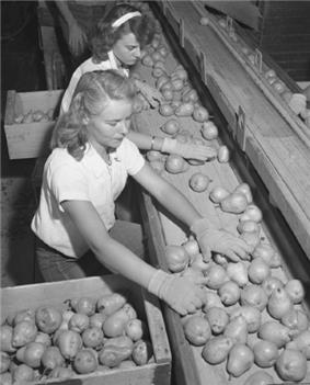 Workers sorting pears, Bones & Son packinghouse, Littlerock 1946. Packers were promised an extra 25 cents for each