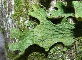 A green, leaf-like structure attached to a tree, with a pattern of ridges and depression on the bottom surface
