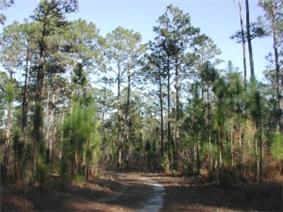Southern longleaf pine