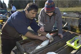 Photo of man inspecting steelhead broodstock in hatchery