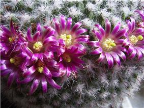 A color picture of a cactus with pink flowers