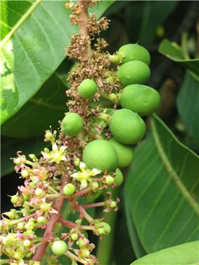 Close-up of a twig of the Alphonso mango tree carrying flowers and immature fruit, Deogad (or Devgad), Maharashtra, Valsad-Gujarat, India