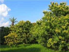 Photo of mango trees with clear sky in background