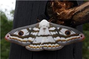 Marbled emperor moth heniocha dyops.jpg