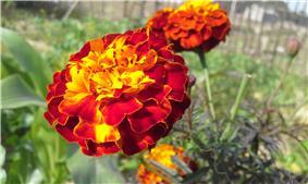 Marigold Flower 'Genda ful'.jpg