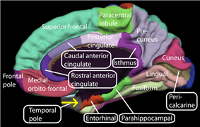 medial view of the right cerebral hemisphere showing the entorhinal cortex near the base of the temporal lobe.