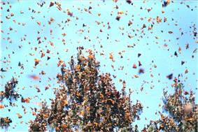 A large number of orange butterflies in flight.