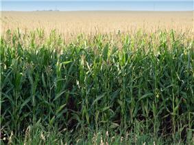 a field of nearly mature corn
