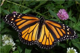 The monarch butterfly, Minnesota's state butterfly