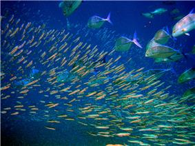 Predator bluefin trevally sizing up schooling anchovies