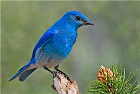 A blue bird with a light underside and black eyes, perched on a pine branch.