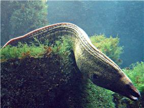 Photo of undulating moray on top of a coral colony
