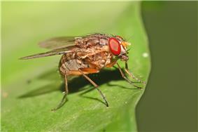 Mydaeinae, Muscidae.jpg