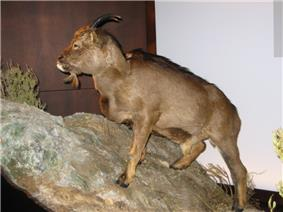 Balearic Islands Cave Goat