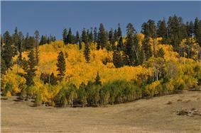 Aspens and a meadow in fall.