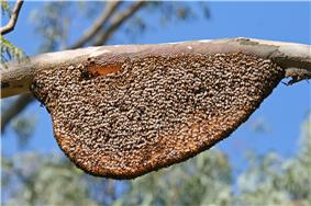Bees almost completely cover a honeycomb suspended from a tree branch.