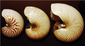Photo of profiles of three progressively larger nautilus shells