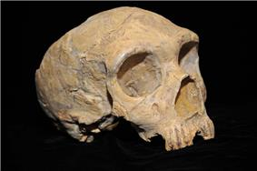 Three—quarter view of the mostly intact skull of a Neanderthal female