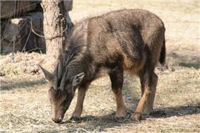 A photograph of a small, brownish goat-like animal with its head down feeding