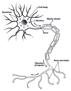 Myelination surrounding the axon