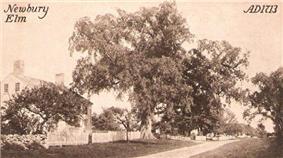 Newbury Elm c. 1910