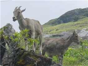 Nilgiri tahr in Montane grasslands