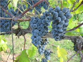 Cynthiana Grape