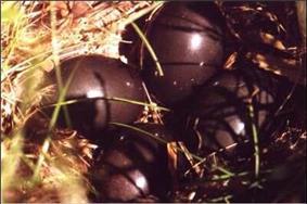 Eggs with glossy, dark purple-brown shells