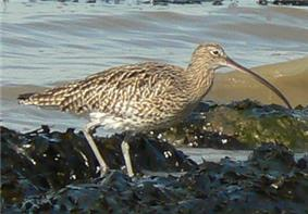 A Eurasian curlew
