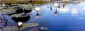 Okavango Water Lillies.jpg