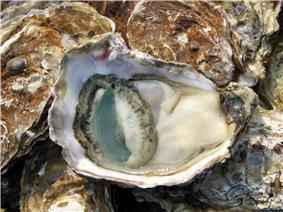 An open oyster