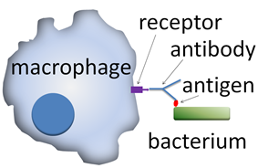 A cartoon: The macrophage is depicted as a distorted solid circle. On the surface of the circle is a small y-shaped figure that is connected to a solid rectangle that depicts a bacterium.
