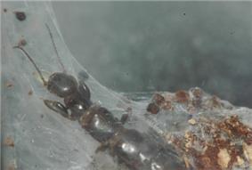 Adult female Embiid