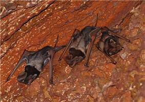 Critically endangered Wroughton's Free-tailed Bat near Bhimagad Wildlife Sanctuary