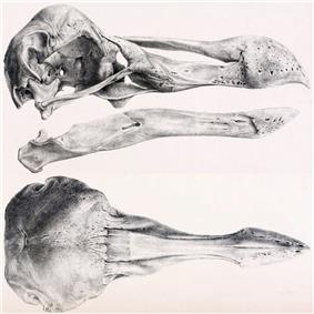 Lithograph of the dodo skull at the Oxford Museum