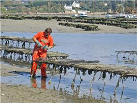 Oysterman standing in shallow water examining row of oyster cages that stand two feet above the water
