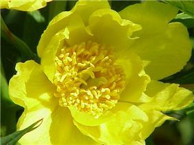 Paeonia lutea0.jpg
