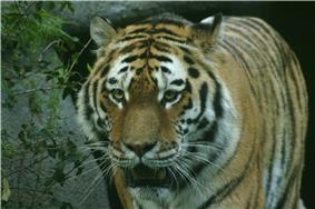 Photograph of a Siberian tiger.