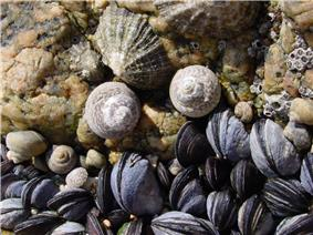 Two limpets, two large marine snails, some barnacles and a bed of mussels vie for space.