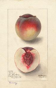 Peach (cultivar 'Berry') - watercolor 1895