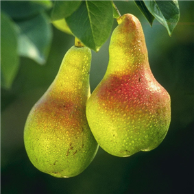 Two light green fruits with hints of red hanging on a tree branch and exhibiting the