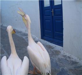 Pelican swallowing a fish part 4.JPG