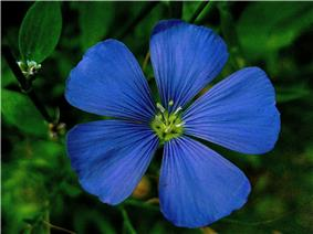 National Flower: Flax