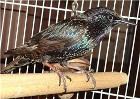 Pet starling