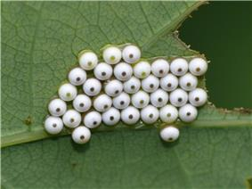 White moth eggs with black central spots seen clustered together on a leaf from above.