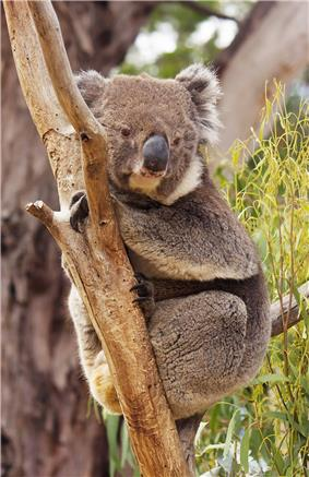 Koala resting in tree between branch and stem