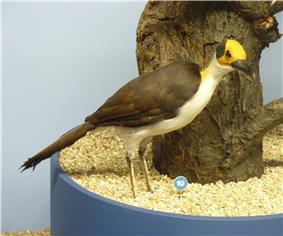 A medium-sized, stuffed bird with a black back, yellow, featherless head with a black circle behind the eyes, and white belly is displayed next to a tree in a museum.